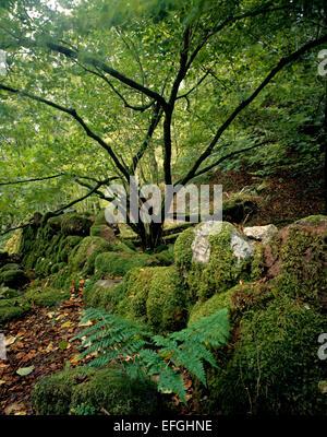 Moss covered wall in native woodland near Glencoe village, Lochaber, Highland Scotland. - Stock Photo