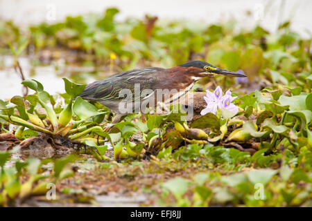 Green Heron, sci name; Butorides virescens, Refugio de vida Silvestre Cienaga las Macanas, Herrera province, Republic - Stock Photo