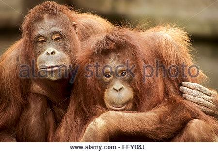 Sumatran Orangutan, Dublin Zoo, Ireland - Stock Photo