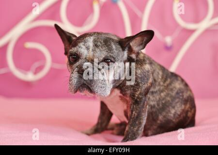 A cute, old french bulldog sitting on a pink bed. - Stock Photo