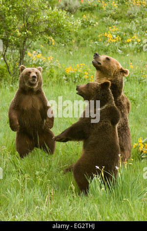 Grizzly bear sitting up - photo#33