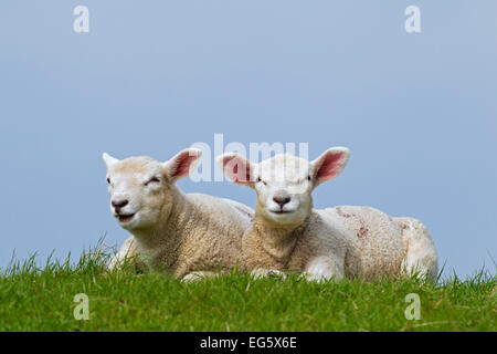Domestic sheep (Ovis aries), two white lambs lying in meadow in spring - Stock Photo