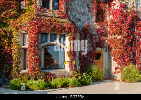 Detail of Boston ivy, covering Hatley Castle,  Hatley Park, Colwood, (Victoria) British Columbia, Canada - Stock Photo