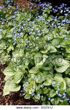 brunnera macrophylla 39 jack frost 39 agm stock photo royalty. Black Bedroom Furniture Sets. Home Design Ideas