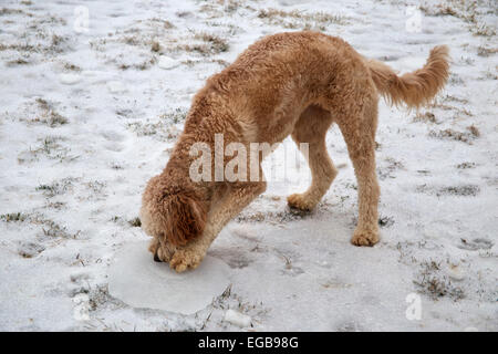 Young Female Goldendoodle Dog Standing In Yard Looking