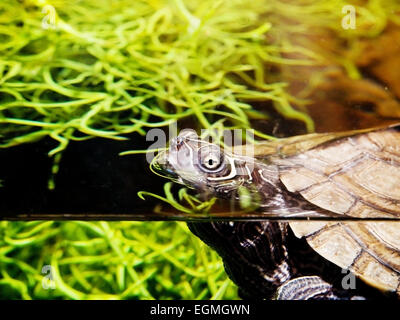 Aquatic Turtle - Stock Photo