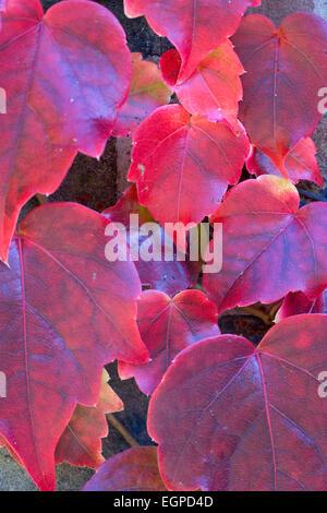 Boston ivy, Parthenocissus tricuspidata, Close-up detail of red autumn leaves. - Stock Photo