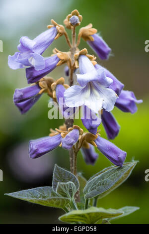 Foxglove tree, Paulownia tomentosa, Purple flowers on a panicle on a tree in the spring. - Stock Photo