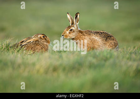 brown hares, lepus europaeus, female and male, lower