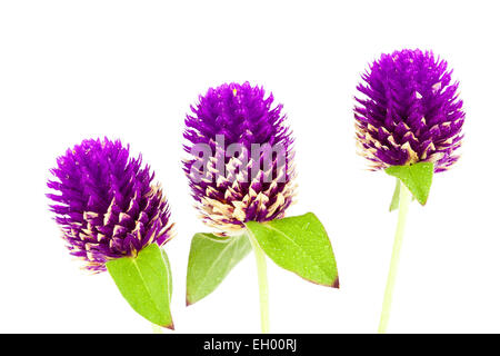 Globe Amaranth or Bachelor Button close up on white background - Stock Photo