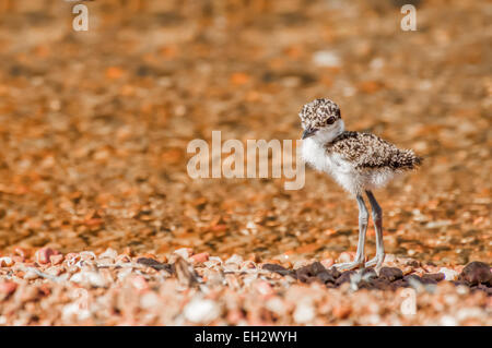 A very young Lapwing chick stands alone on a pebble beach near the water. - Stock Photo