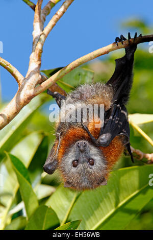 Grey Headed Flying Fox, Pteropus poliocephalus. Endemic to eastern Australia and are listed as vulnerable on the - Stockfoto