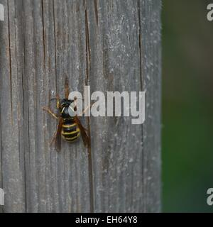 wasp sitting on a piece of wood - Stock Photo