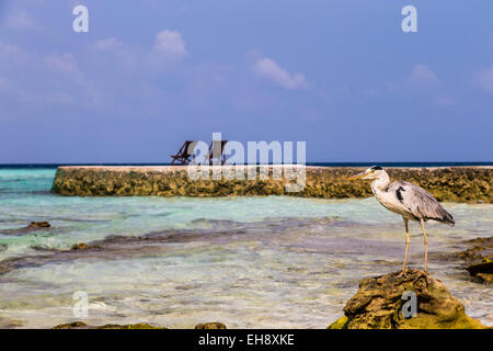 A Grey Heron stood on old coral at Makunudu Island in the Maldives with sun loungers on a jetty in the distance - Stock Photo