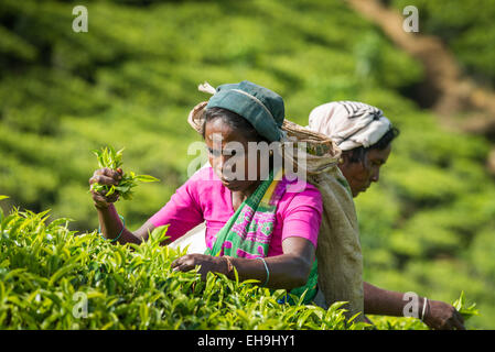 Tea picking, Tea plantation near Hatton, Central Province, Sri Lanka, Asia - Stockfoto