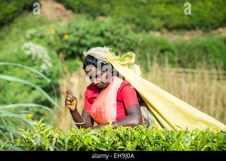 Tea picking, Tea plantation near Hatton, Central Province, Sri Lanka, Asia - Stock Photo