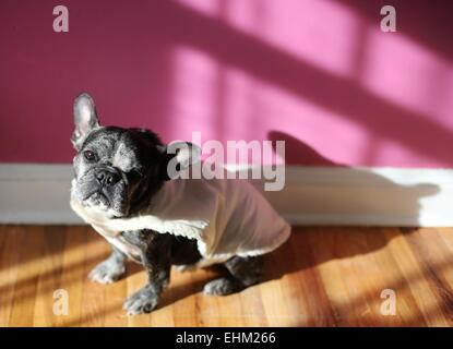 A cute, old french bulldog wearing a coat. - Stock Photo
