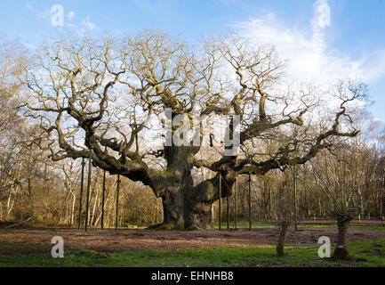Ancient tree the Major Oak in Sherwood Forest Nottinghamshire near Edwinstowe has associations with the Robin Hood - Stock Photo