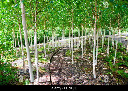 White Himalayan birch (Betula utilis var jacquemontii) in Yeo Valley Organic Garden Holt Farm Blagdon North Somerset - Stockfoto