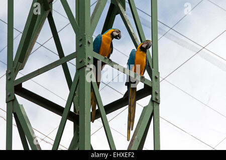 Two Blue-and-yellow macaw (Ara ararauna) perching on scaffold, South Africa - Stock Photo