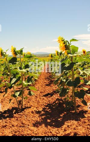Rows of giant Sunflowers - USA - Stock Photo