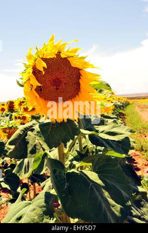 Sunflower with petals waving in the breeze - USA - Stock Photo
