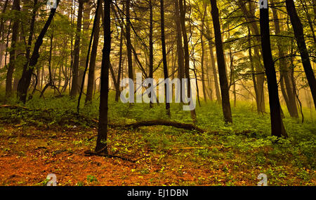 Fog in the forest, Shenandoah National Park, Virginia. - Stock Photo