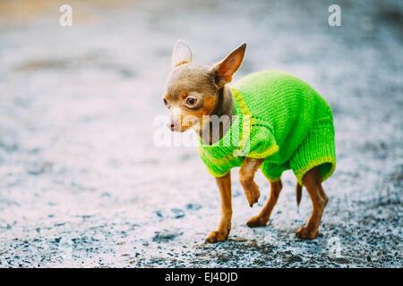 Wunderschöne kleine Chihuahua Hund gekleidet In Outfit, Aufenthalt im Freien im Frühjahr - Stockfoto