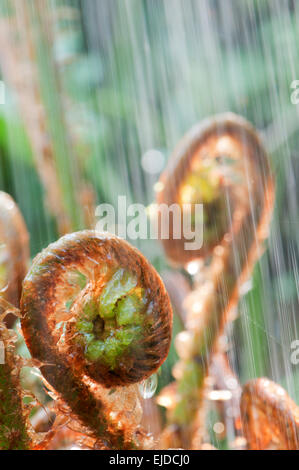 Young curled fern in rain and backlight - Stockfoto