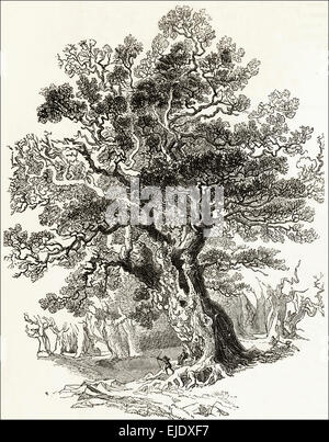 The Forest King large Oak Tree in Sherwood Forest Nottinghamshire. Victorian woodcut engraving circa 1845. - Stock Photo