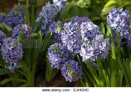 Hyacinth bulbs - Hyacinthus orientalis 'Delft Blue' Stock