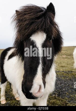 A portrait of an Icelandic horse in a pasture in Iceland - Stock Photo