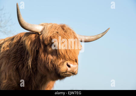 Highland cow in winter in Scotland - Stock Photo