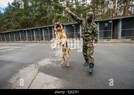 Kiev, Ukraine. 1st April, 2015. Police dog and training. Trainer plays with German shepherd named Boy that just - Stock Photo