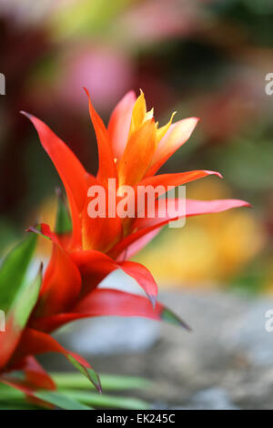 Beautiful flowers in Thailand on Koh Samui photographed close-up - Stock Photo
