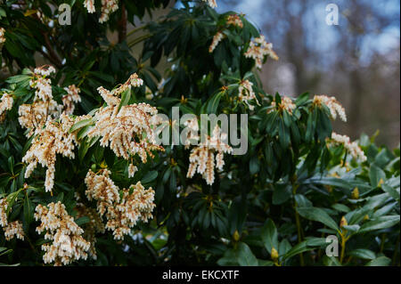 pieris forest flame ericaceae stock photo royalty free. Black Bedroom Furniture Sets. Home Design Ideas