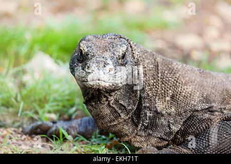 Portrait of  Komodo Dragon (Varanus komodoensis). Rinca - Stock Photo