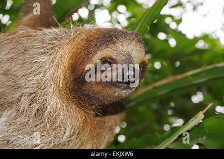 Head of young three-toed sloth looking at camera in the jungle of Costa Rica, wild animal, Central America - Stock Photo