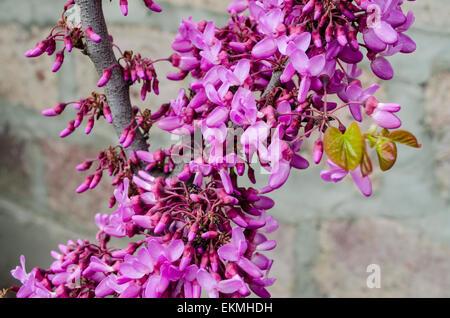 Purple flowers on Judas Tree - Stock Photo