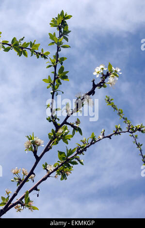 plum blossom, plum, white,  tree,  flowering, fruit, spring, flower, white flower, pistils, nature,  plums, blue - Stock Photo