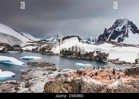 Gentoo penguins (Pygoscelis papua) and icebergs off the shore of Peterman Island; Antarctica - Stock Photo