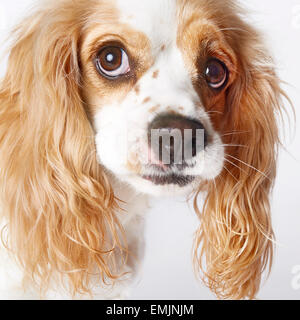 Mixed Breed Dog And Cavalier King Charles Spaniel Eating