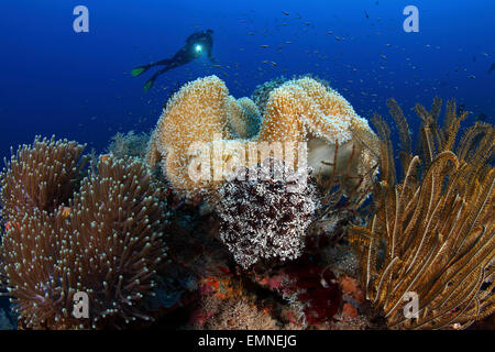 Pink Anemonefishes And Scuba Diver Amphiprion Peridaraion