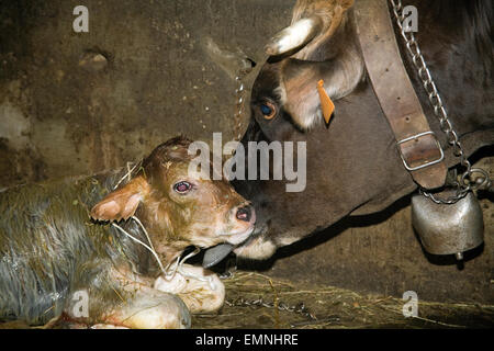 a newborn calf from a few minutes - Stock Photo