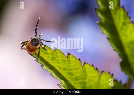 The castor bean tick (Ixodes ricinus) - Stock Photo