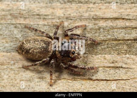Jumping spider (Eris sp.) - Stock Photo