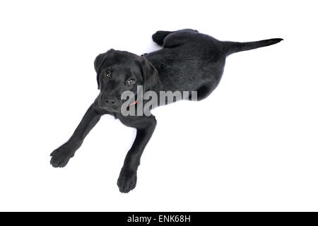 Cute black Labrador Retriever puppy cut out isolated on white background - Stock Photo