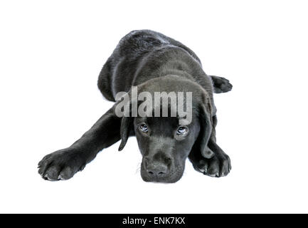 Sad and submissive black Labrador Retriever puppy cut out isolated on white background - Stock Photo