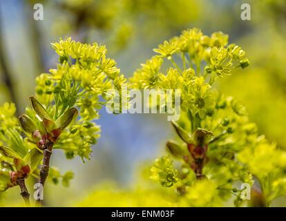 Small-leaved lime (Tilia cordata), flowers - Stockfoto