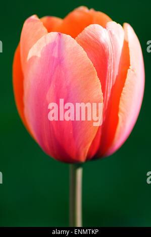 A single Tulip, 'Prinses Irene'. - Stock Photo